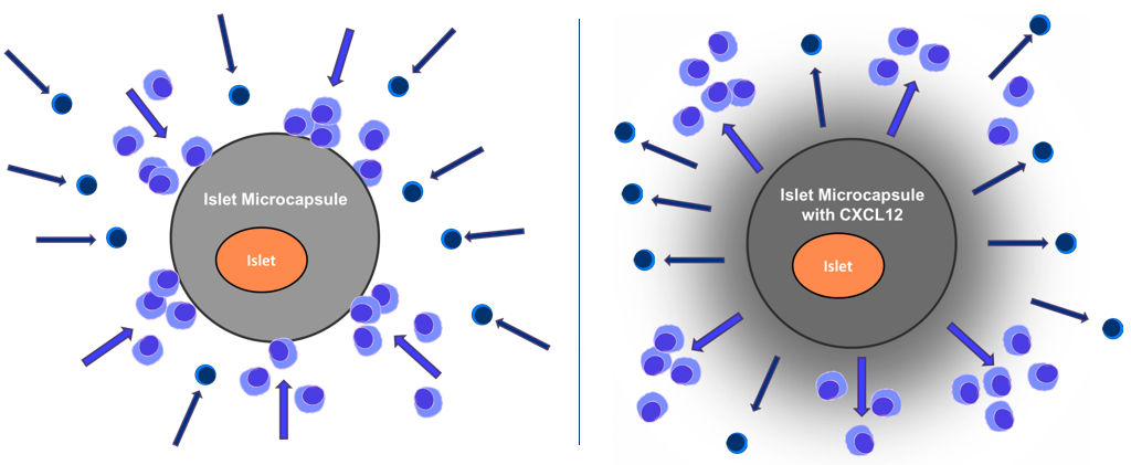 """The Yin and Yang of lymphocytes (""""killer"""" cells): they will attack and destroy transplanted tissue they see as foreign. Concentrated levels of CXCL12 surrounding the islets repel the cells, preserving islets while they mature."""
