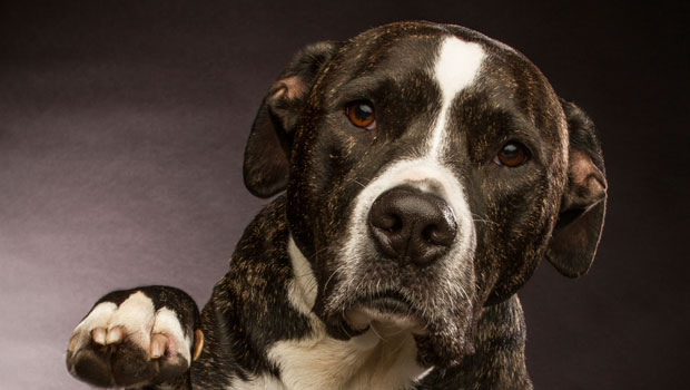 Pitbull Saves Child from Hypoglycemia   Insulin Nation