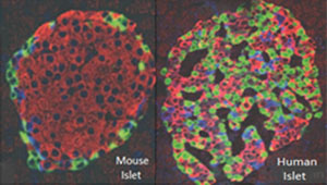 mouse_human_islets_300px