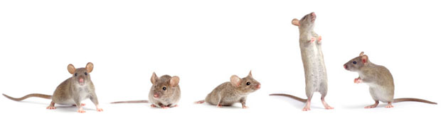 row_of_mice_3_620px