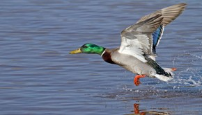 shutterstock_136362458_duck_trying_620px